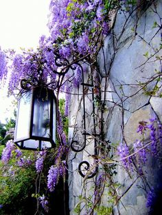 French Country Style Trailing vines of wisteria rustic lighting. French Country Style Trailing vines of wisteria rustic lighting. Magic Garden, Dream Garden, Purple Haze, Shades Of Purple, Periwinkle, Lilac Color, Purple Door, Purple Flowers, Beautiful Flowers