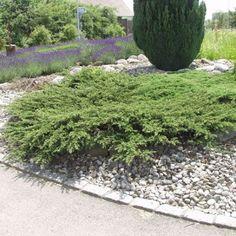 Kääpiökataja 'Repanda', juniperus communis 'repanda' (krypen)