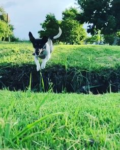 ....FEATURE YOUR FLYING FRIENDS....#flyingjacks Thanks to @torry_jrt ________ #jackrussell#jackrussellterrier#jrt#terrier#terriers#dogs#hund#doglover#dogoftheday#doggo#puppy#jump#jumpingdog#leapingdog#flyingdog