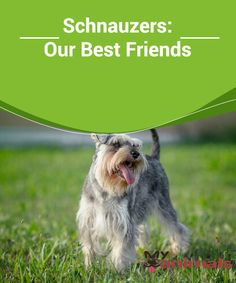 Schnauzers: Our Best Friends  Schnauzer dogs span three different kinds of sizes: the so-called miniature, which weighs between 6 and 7 kg, the standard size, whose weight is around 14-15 kg, and the giant, which exceeds 30 kg.