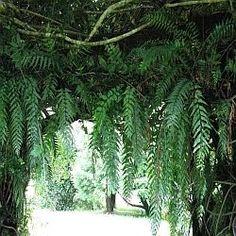 "Garden Design Kerry layered hedge - black manuka, leptospermum ""wiri kerry""   a formal"