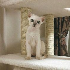 おはようございます😃✨もともと起きるのは早めだったけどこの子が来てから更に30分起きるの早くなりました。その分寝るのも30分早くなったけど😌😌 .. ... .. #猫 #tonkinese #tonkinesecats #ねこ #にゃんこ #にゃんすたぐらむ #ねこすたぐらむ #ねこ部 #にゃんだふるらいふ #猫のいる暮らし #猫のいる生活 #kitten #猫好きさんと繋がりたい #トンキニーズ #白猫 #ペット #愛猫 #cat #pet #instacat #neko #instacats #NEKOくらぶ #みんねこ #生後3か月 #おはよう #子猫 #こねこ