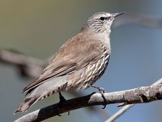 White-browed Treecreeper (Climacteris affinis) by Peter_Jacobs.