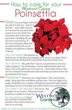 179 Best Plants Poinsettia Images Poinsettia Plants