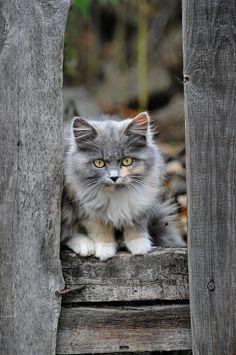 http://www.perfectchange-ragdoll.nl/kittens/ #ragdoll #kittens #cats #cute