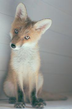 Curious Fox | Poster | artboxONE