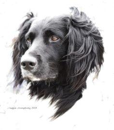 Portrait of a gorgeous Muensterlaender