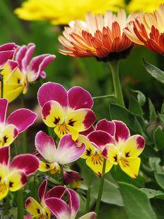 Pretty Pink & Yellow Viola Flowers