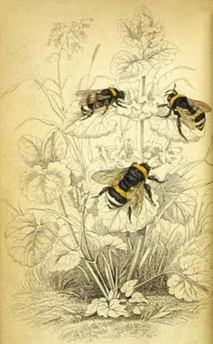 I'm a Forager Bee! 'Common humble bee', from The Naturalist's Library, vol. 38 Entomology, edited by William Jardine Botanical Drawings, Botanical Art, Vintage Botanical Prints, Art And Illustration, Girl Illustrations, Beatrix Potter Illustrations, Victorian Illustration, Éphémères Vintage, Vintage Ideas