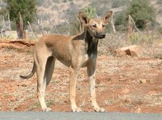 Africanis - what an interesting looking breed of dog