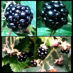I love it when the #blackberry #fruits are almost ready. It's a reminder #autumn is just-around-the-corner.   #woods #nature #forest #optoutside #berries #saturdaystroll #wasteland