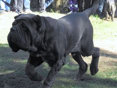 Neapolitan #Mastiffs are believed to be descended from the war #dogs used in the Roman armies.
