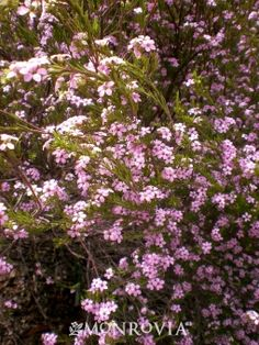 Monrovia's Magenta Breath of Heaven details and information. Learn more about Monrovia plants and best practices for best possible plant performance.