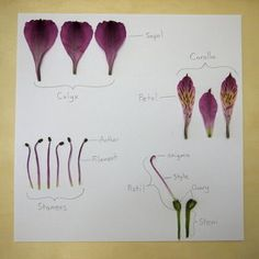 dissect a flower! Montessori, Plant Science, Science And Nature, Flower Anatomy, Plant Projects, Parts Of A Flower, Nature Journal, Teaching Science, Real Flowers