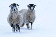 North Yorkshire, UK. 9th November, 2016. Swaledale sheep enjoying the first snow of the winter in Wensleydale, North Yorkshire, UK. ¿ Wayne HUTCHINSON/Alamy Live News