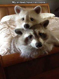 My In-Law's Pet Raccoons