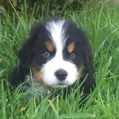 sweet puppy laying in the grass. #puppy #cute #doglover #barkinglaughs #dog
