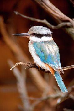 Sacred Kingfisher in Australia.  Photographer Mike Dawson.