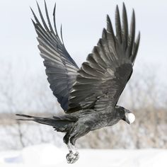 Raven in flight, view from side and rear, both wings up by Paul Lantz Raven Wings, Raven Bird, Bird Wings, Crow Art, Bird Art, Raven Flying, Raven Queen, Raven Tattoo, Jackdaw