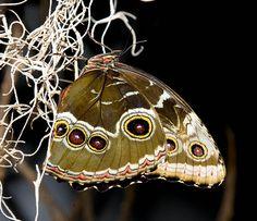Peleides Blue Morpho (Morpho peleides) by canorus, via Flickr