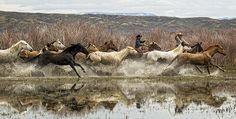 http://flatlandsfoto.artistwebsites.com/ Captured by award winning photographer Joan Davis in the spring of 2013 during her visit to the Sombrero Ranch in Craig, Colorado. This group of cowboys and cow were moving this group of horses through the water on their way home. You can see the skill of the cowboys as they use their lariats to keep the ranch horses moving in an organized fashion. In the background the Colorado mountains complete the scene.