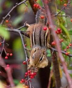 Chipmunk | Amazing Pictures make a story that this chipmunk has a job... personify