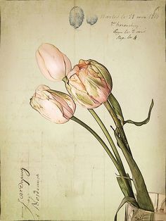 vintage tulips - why haven't I looked into botanical drawings more before now? (thank you Kate Thomssen.)