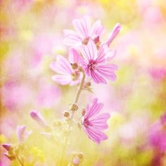 Nature Photography Flowers Pink Yellow Sunny Wall by Fizzstudio