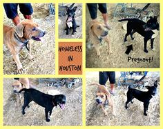 lizardmarsh: Humble TX: Very urgent!!! Adopt/Rescue Sasha the D...
