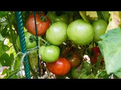 Grow Your Own Tomatoes With Quickcrop - YouTube