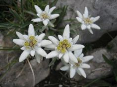 Edelweis,flower that grows only in the mountains.