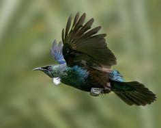New Zealand Birds Online – 1 million hits Tui Bird, Flower Tattoo Foot, Flower Tattoos, Zealand Tattoo, Birds Online, Common Birds, New Zealand Art, Bird Poster, Nz Art