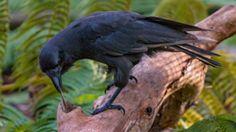 Otro cuervo tan listo que parece de fábula
