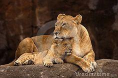 Löwin und Cub