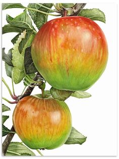 Anna Knights - contemporary botanical paintings  Apple, Laxtons Fortune