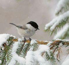 Country Winter - Bird and Snow - Black capped Chickadee. Pretty Birds, Love Birds, Beautiful Birds, Animals Beautiful, Cute Animals, Snow Scenes, Winter Scenes, Black Capped Chickadee, All Nature