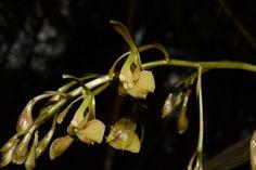 https://flic.kr/s/aHskHXBTUa | Epidendrum sp.