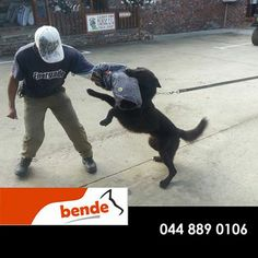 Here we have Duke being put through his paces. Having a trained animal is a pleasure but it takes hard work and dedication, not to mention the right equipment. Purchase everything you need to get your dog training done correctly from Bende SA. Contact us for more details. #attackdogtraining #ilovemydog