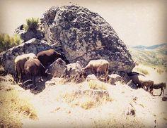 Pequeños rebaños de ovejas y cabras que todavía pastorean en la Sierra de la Estrella.  #SerraDaEstrela #Seia #Sabugueiro #Manteigas #Portugal #Ovelha #lã #razasautóctonas #pastor #Trashumancia #lana
