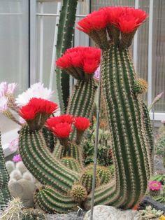 Lobivia grandiflora var crassicaulis