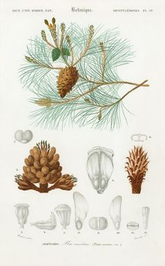 AUTHENTIC LITHOGRAPH Maritim Pine Cluster Pine This print is taken from the Dictionnaire Universel d'Histoire Naturelle a publication directed by the frenc. Vintage Botanical Prints, Botanical Drawings, Antique Prints, Botanical Art, Illustration Botanique, Illustration Blume, Pine Cone Drawing, Impressions Botaniques, Carrion Flower