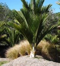 Rhopalostylis sapida, Nikau, the southernmost naturally occuring palm