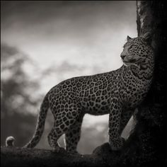 LEOPARD IN CROOK OF TREE, NAKURU 2007