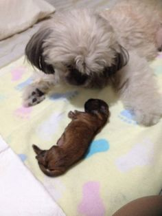 Newborn 1 day old Barbie Shih Tzu, Pepper, Barbie, Dogs, Animals, Animais, Animales, Animaux, Doggies