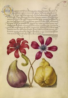 [folio 39r] Joris Hoefnagel (illuminator) [Flemish / Hungarian, 1542 - 1600], and Georg Bocskay (scribe) [Hungarian, died 1575], Poppy Anemones, Caterpillar, Fig, and Quince, Flemish and Hungarian, 1561 - 1562; illumination added 1591 - 1596, Watercolors, gold and silver paint, and ink on parchment, Leaf: 16.6 x 12.4 cm (6 9/16 x 4 7/8 in.), 86.MV.527.39.