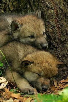 Wolf Pups Resting Against a Tree.