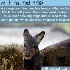 Strange Vampire Deer, The Kashmir Musk -  WTF fun facts