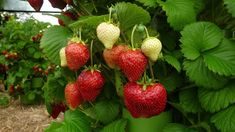 Strawberries are gorgeous, the taste of summer, you can grow them in all sorts of quirky containers, here are a few to give you inspiration! Raspberry Plants, Strawberry Garden, Types Of Strawberries, Growing Strawberries In Containers, Growing Tomatoes In Containers, Growing Vegetables Indoors, Planting Vegetables, Strawberry Varieties, Ideas