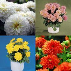 Dahlinova Dahlia Offer Green Flowers, Colorful Flowers, Vibrant Colors, Spring Plants, Tall Plants, Window Boxes, Dahlia, Roots, Planters