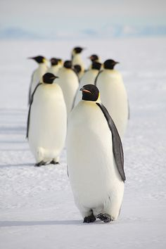 Emperor Penguins can walk and sometime sled on their tummy's 75 miles to their breeding grounds.